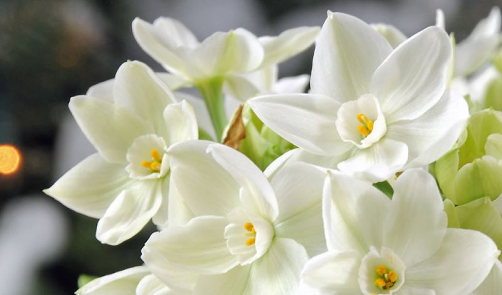 Plants   Flowers      French Daffodil Narcissus tazetta  flowers Narcissus tazetta Cheerfulness Narcissus tazetta  Cragford Narcissus tazetta Geranium Narcissus tazetta Paperwhite
