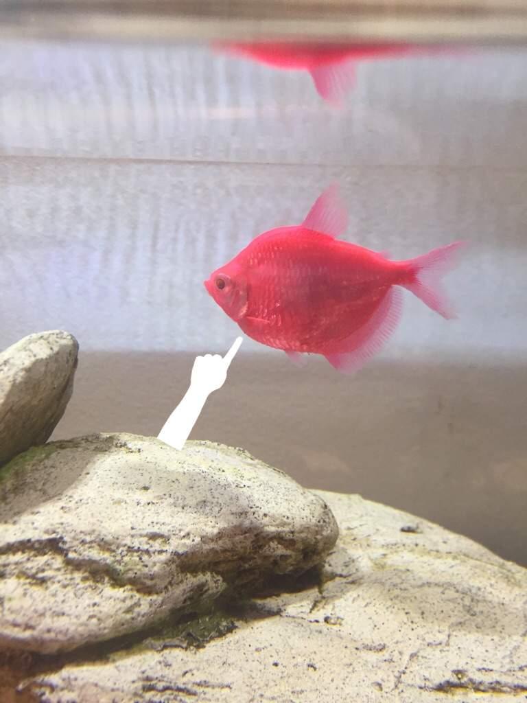 Help with glofish tetra!! | Pets Amino