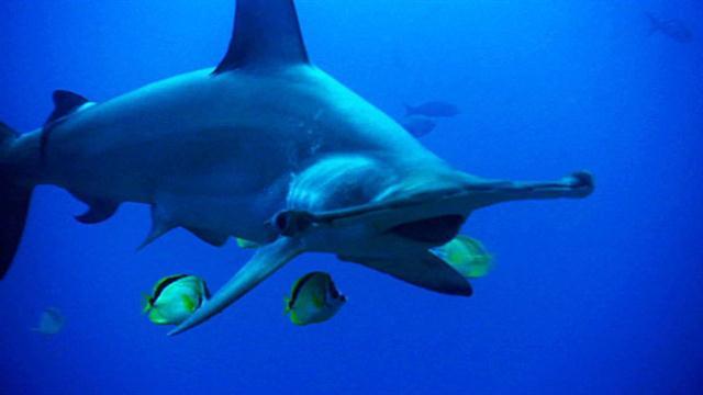 Diagram Hammer Head Shark