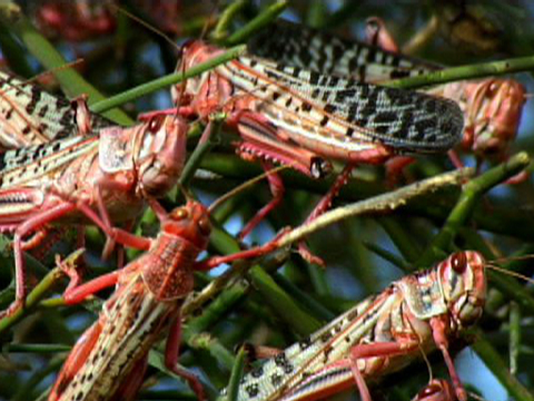 Lots Of Locusts