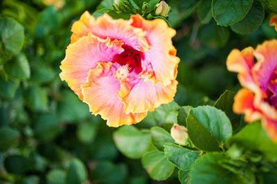 Hawaii s popular tropical flowers and how to wear them Hawaiian hibiscus flower