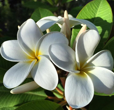 Hawaii s popular tropical flowers and how to wear them Plumeria Kauai