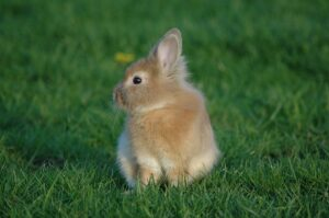 Декоративный кролик в траве