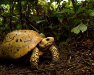 Сухопутная черепаха в лесу