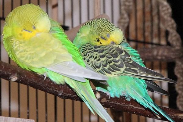 한 쌍의 잠자는 새들