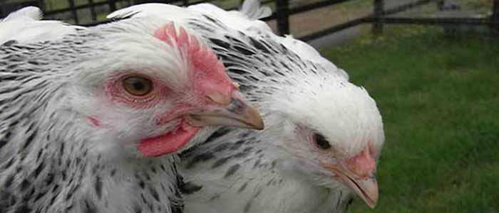 Turkeys Home Raising