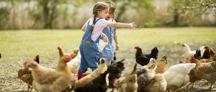 Chicken Digestive System Problems