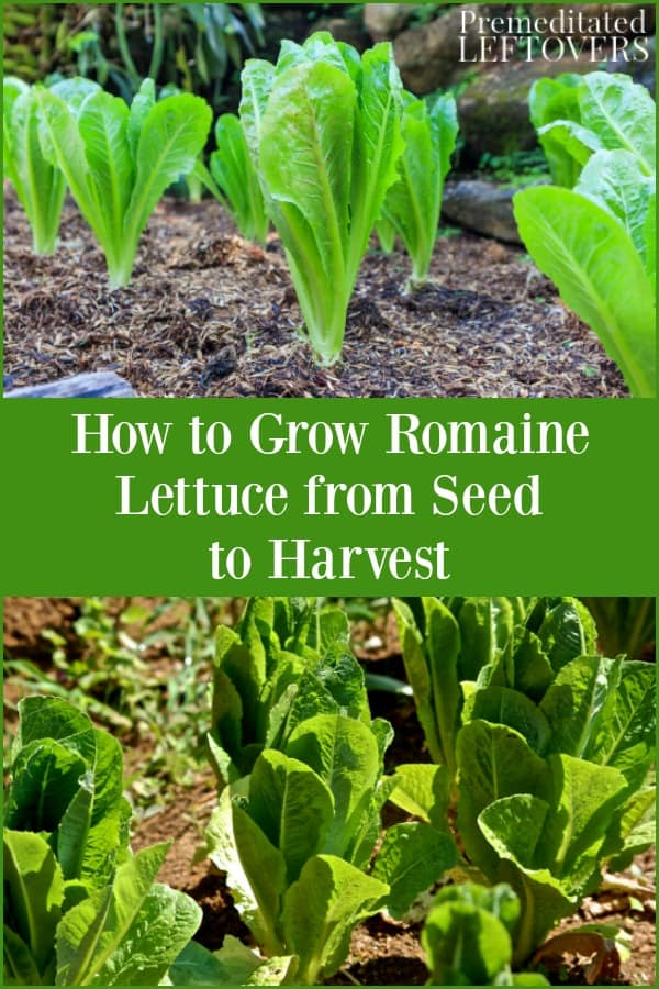 How To Grow Romaine Lettuce From Seeds Or Seedlings To Harvest