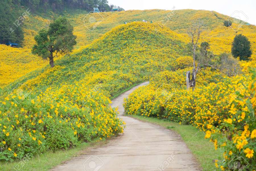Middle Road Flower Field Field Of Yellow Flowers On The Mountain     Middle Road flower field Field of yellow flowers on the mountain  Stock  Photo   28860289