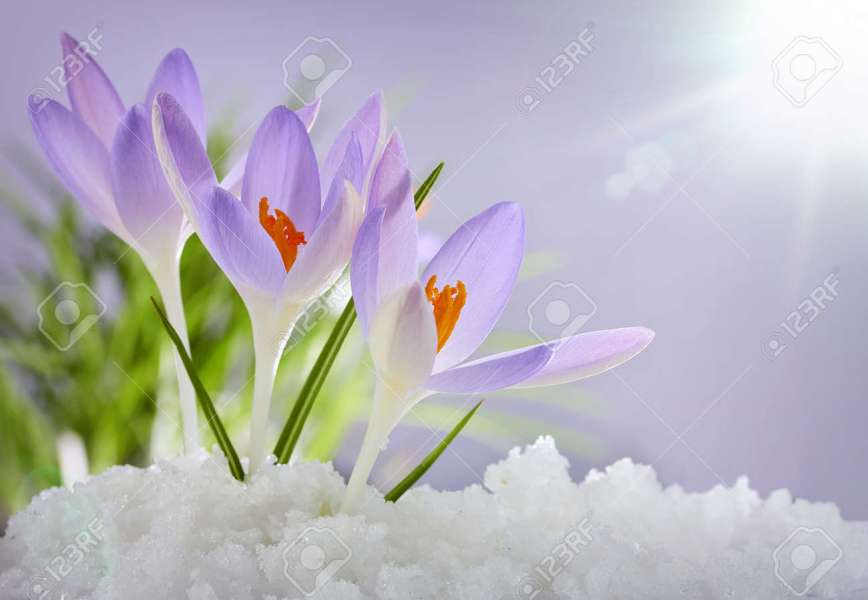 First Spring Flowers Images   Flower Decoration Ideas The first spring flowers crocuses in a forest with snow stock photo stock  photo the first