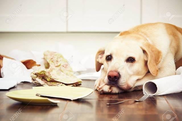 Naughty Dog - Liegender Hund In Der Mitte Des Chaos In Der Küche.  Lizenzfreie Fotos, Bilder Und Stock Fotografie. Image 48628912.