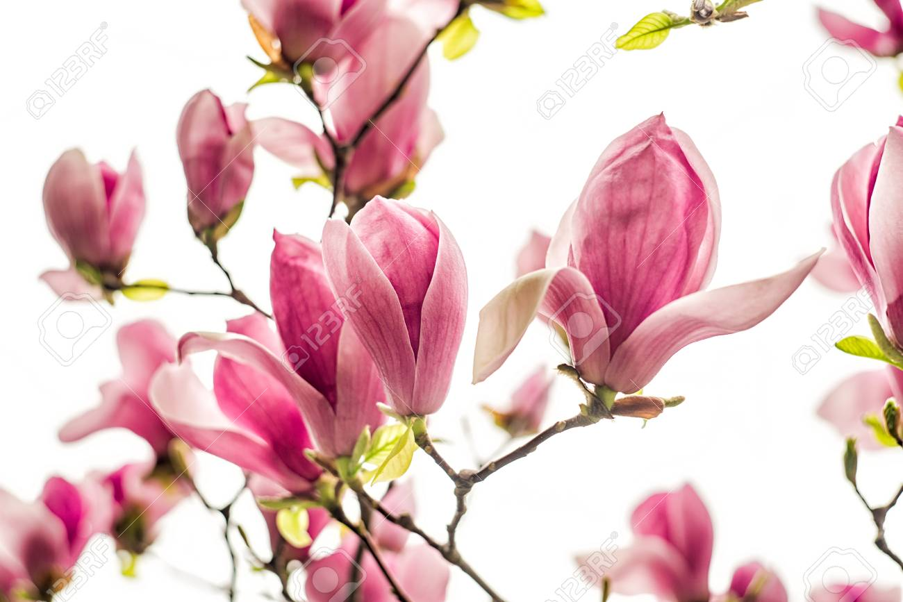 White  Pink And Purple Chinese Magnolia Flowers On A Tree Ona     Stock Photo   white  pink and purple chinese magnolia flowers on a tree ona  sky background