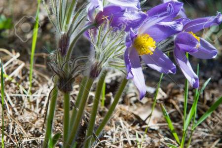 Easter flowers names beautiful flowers 2019 beautiful flowers flowers growing in the wild spring flower pulsatilla common names include list of flower names p cypripedium acaule wild flowers in the holy land mightylinksfo