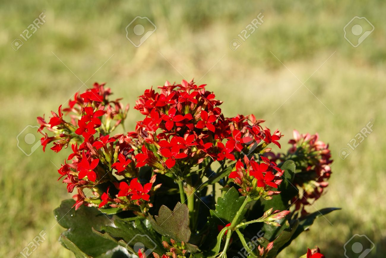 Succulent Tropical Kalanchoe Plant With Red Flowers  Stock Photo     Stock Photo   Succulent tropical Kalanchoe plant with red flowers
