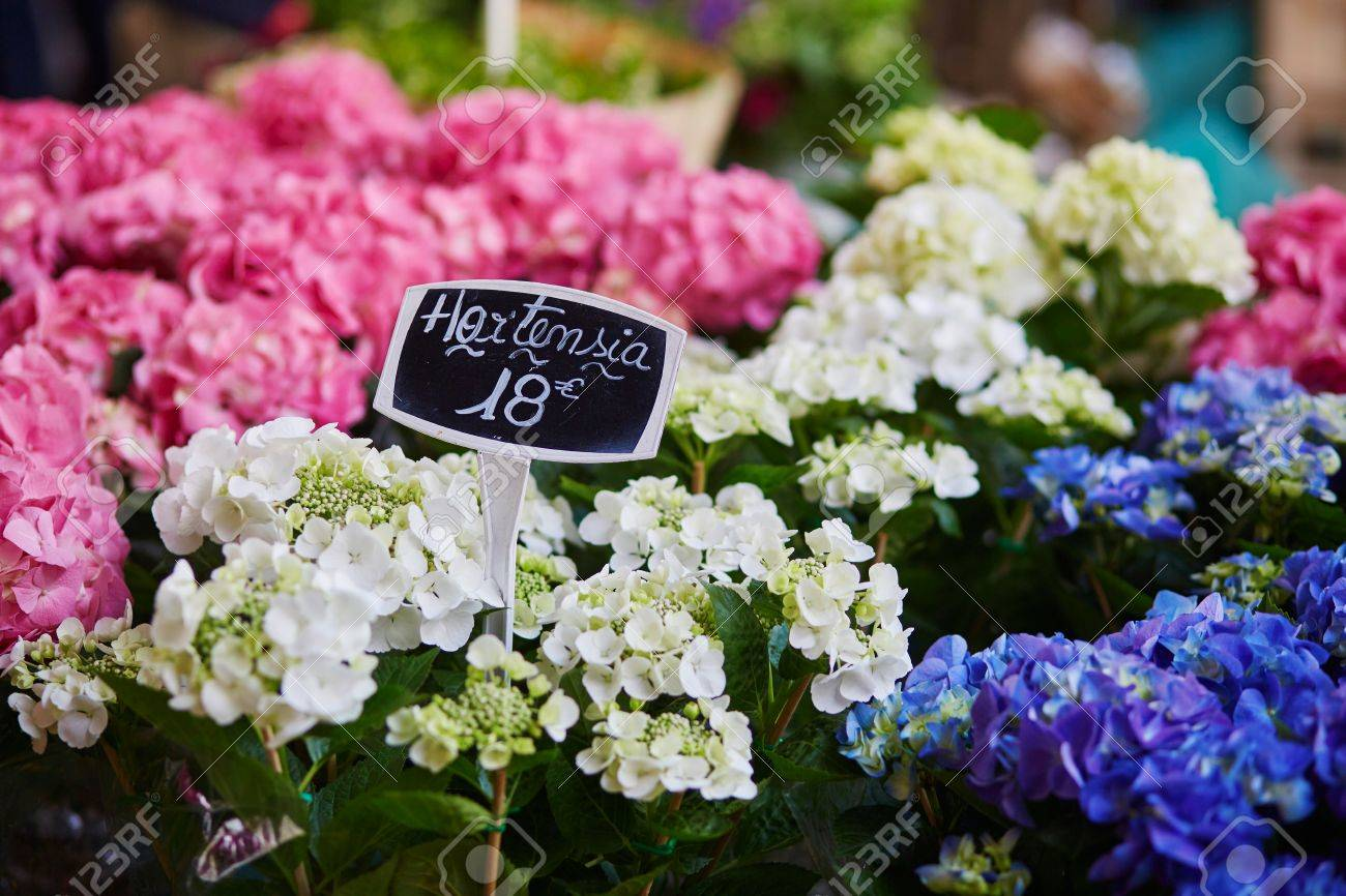 Hydrangea On French Flower Market In Paris  France Stock Photo     Hydrangea on French flower market in Paris  France Stock Photo   77241302