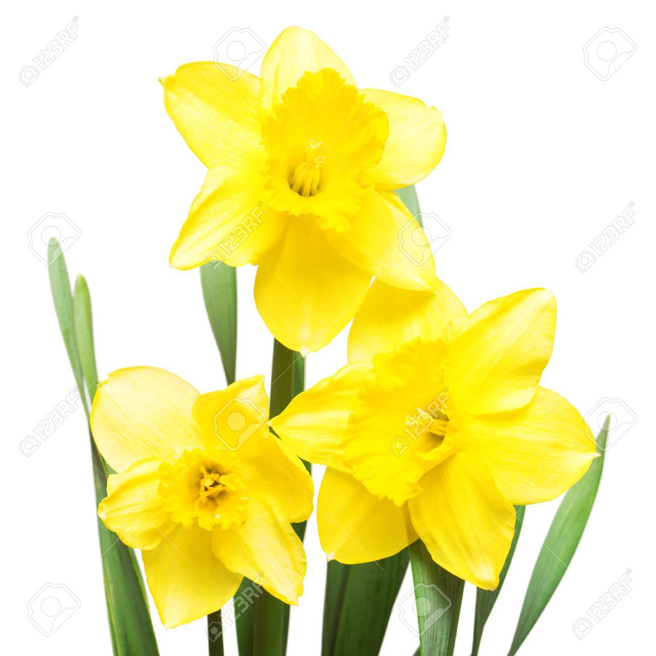 Bouquet Of Yellow Daffodils Flowers Isolated On White Background     Bouquet of yellow daffodils flowers isolated on white background  Flat lay   top view Stock