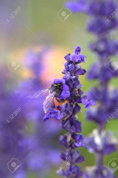 Lavender Flower With Bee In The Garden Stock Photo  Picture And     Lavender flower with bee in the garden Stock Photo   36195670