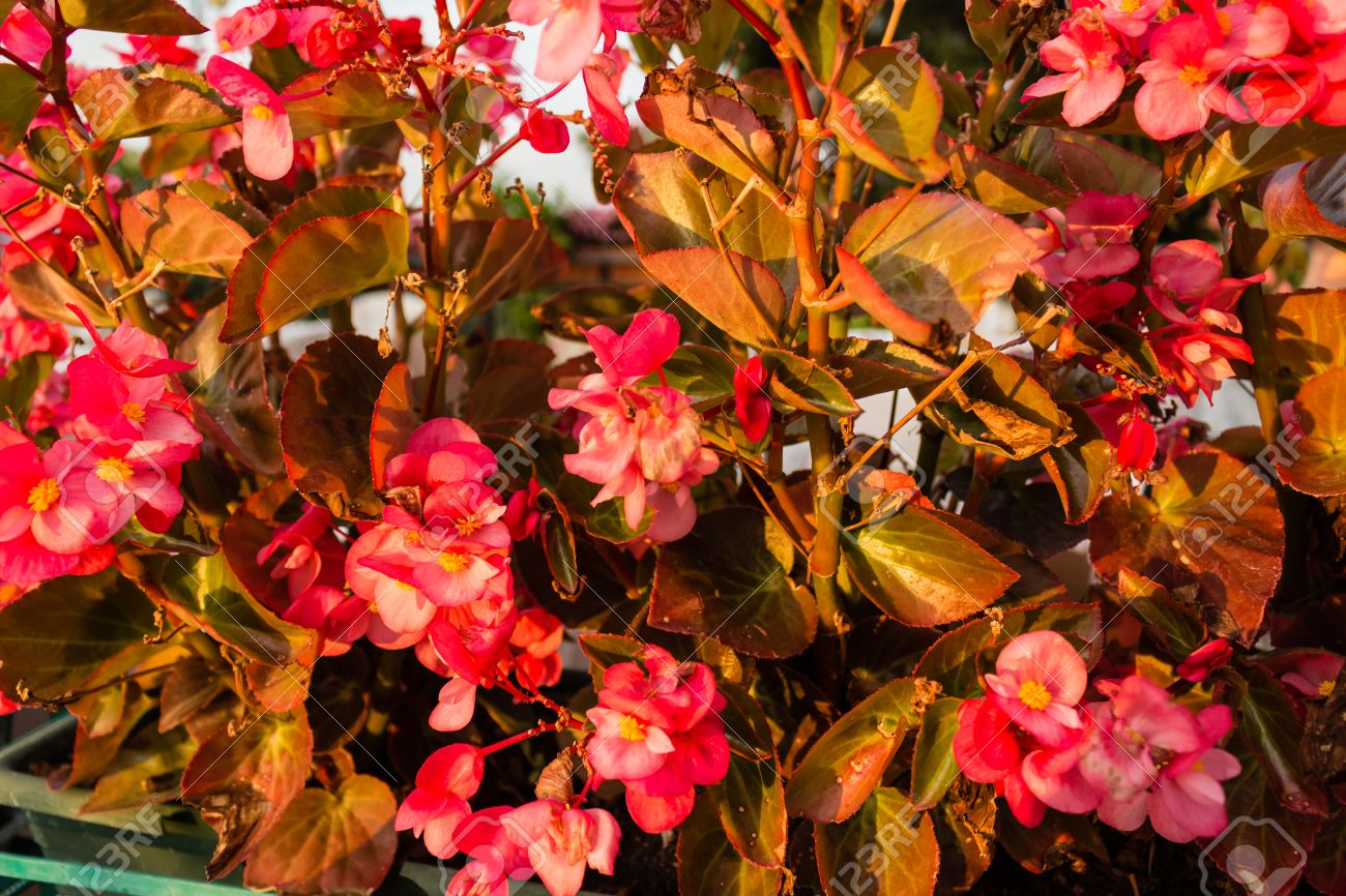 Bush Of Begonia Flowers  Succulent Plant With Green And Brown     Bush of begonia flowers  succulent plant with green and brown tender  leaves  brtanches and