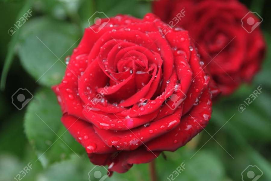 Fresh Red Garden Rose In Rain Drop  Dew On Flower Petals  Garden     Dew on flower petals  Garden scene Stock