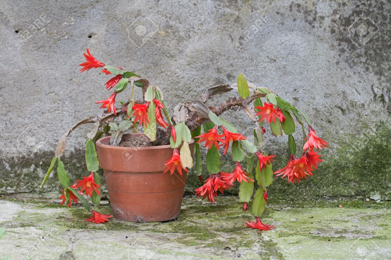 Exotic Succulent Plant With Red Flowers In A Pot Stock Photo     exotic succulent plant with red flowers in a pot Stock Photo   20610797