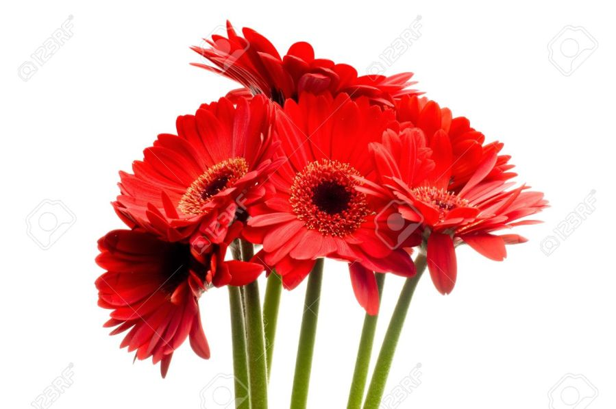 Beautiful Red Gerbera  daisy  Flowers On A White Background Stock     beautiful red gerbera  daisy  flowers on a white background Stock Photo    2887831
