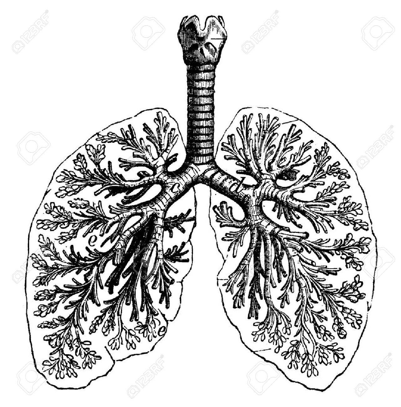 Diagrams of two human lungs vintage engraved illustration la