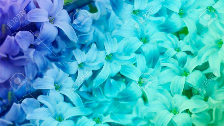 Blue turquoise Flowers Lilac  Floral Background  Floral Wallpaper     blue turquoise flowers lilac  floral background  floral wallpaper for  design  Nature