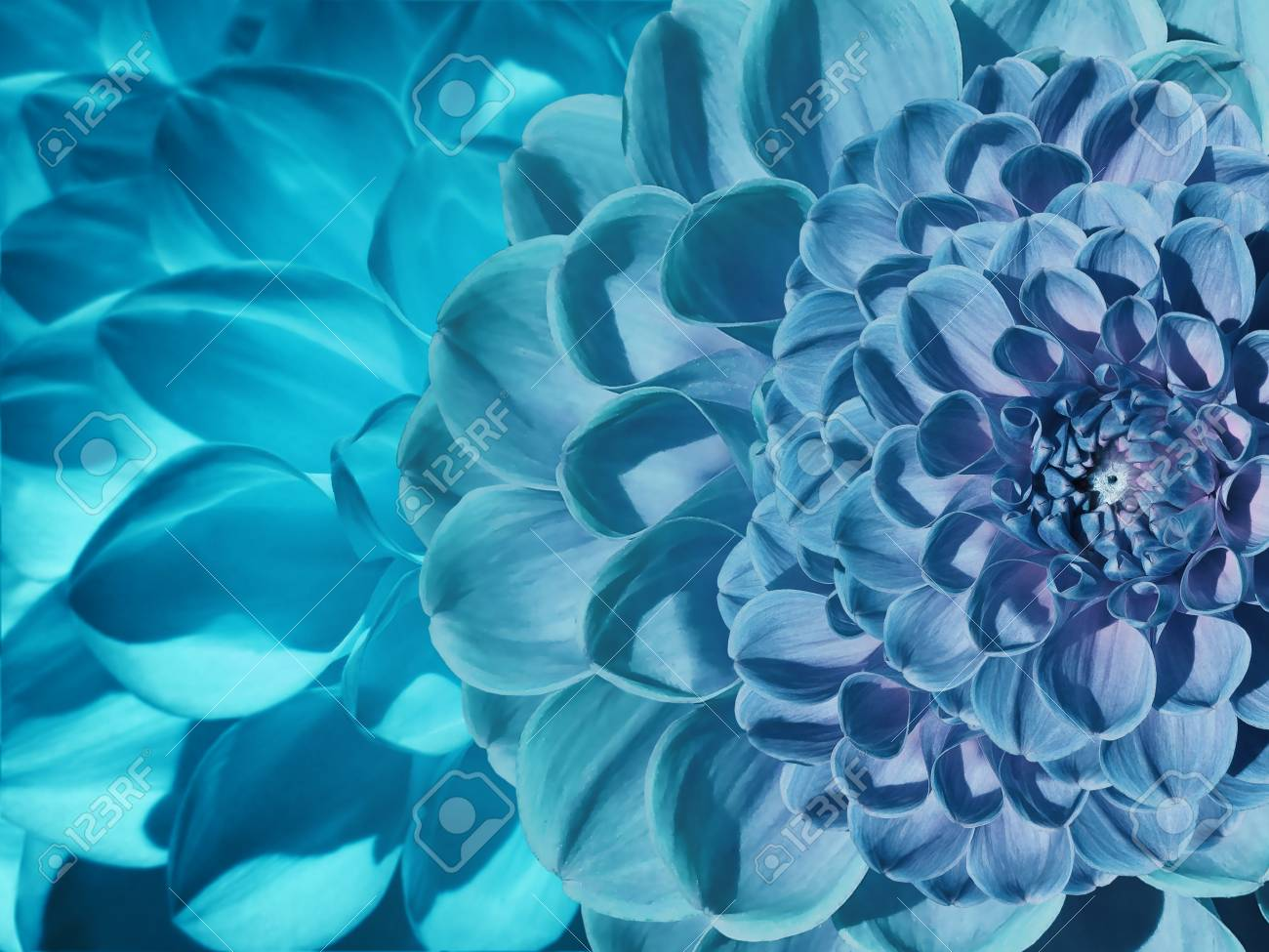 Floral Blue turquoise Beautiful Background  Flower Composition     Floral blue turquoise beautiful background  Flower composition of dahlia  flowers  Close up