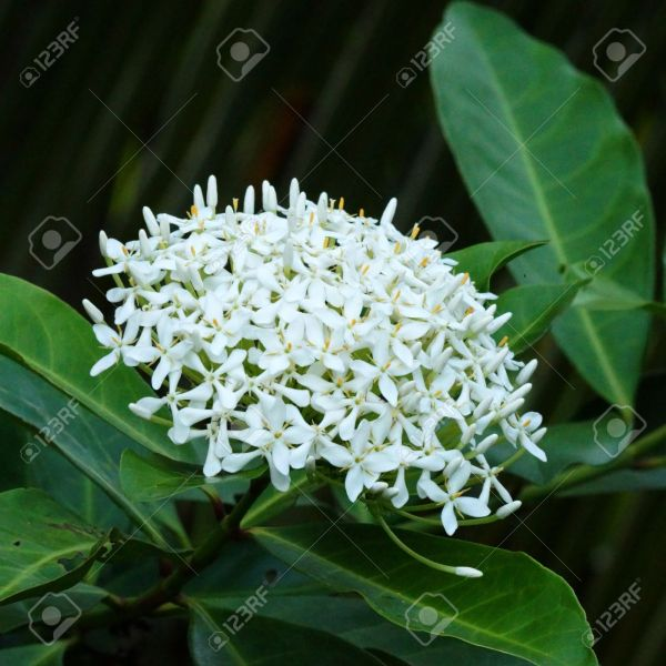 Very Fragrant White Flowers Name Siamese White Ixora   Scientific     Very fragrant white flowers name Siamese white ixora   Scientific name   Ixora finlaysoniana Wall
