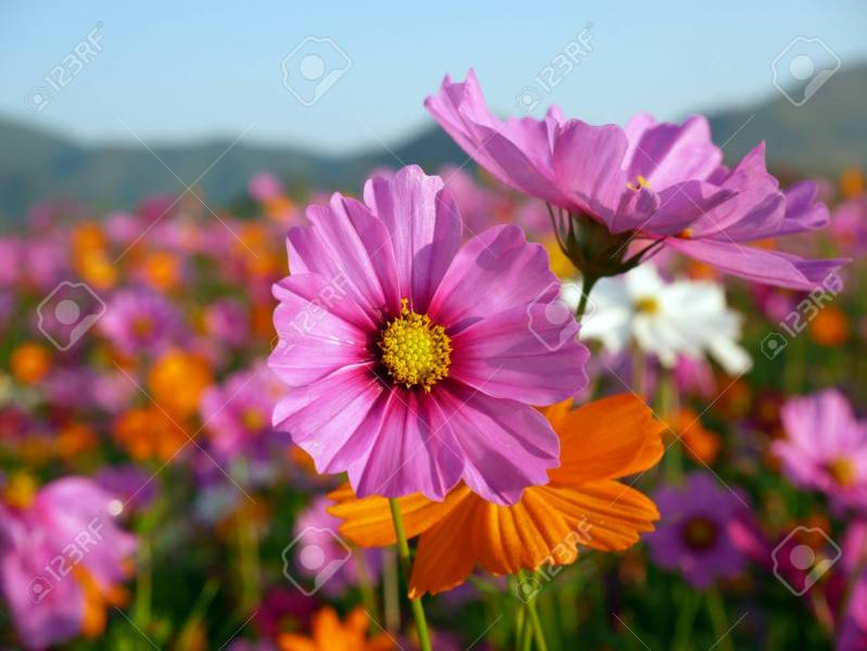 Cosmos Flower  Cosmos Bipinnatus  With Blurred Background     Cosmos flower  Cosmos Bipinnatus  with blurred background   Beautiful  flowers  Flowers in the