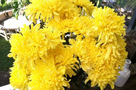 Mums flowers flowers online 2018 flowers online mums flowers colors yellow flowers flowers nature mums flowers images stock photos vectors shutterstock white mums flowers chrysanthemums and hardy mums mightylinksfo