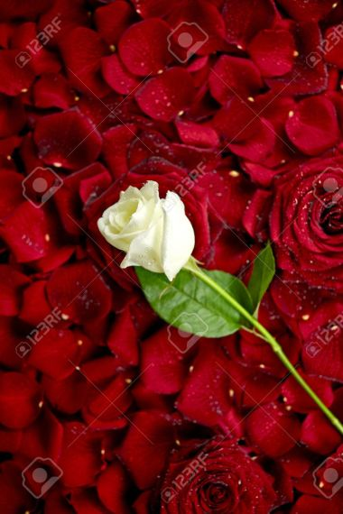 White Rose On Red Rose Petals  Valentine s Day Theme  Roses     Stock Photo   White Rose on Red Rose Petals  Valentine s Day Theme  Roses  Background  Flowers Photo Collection