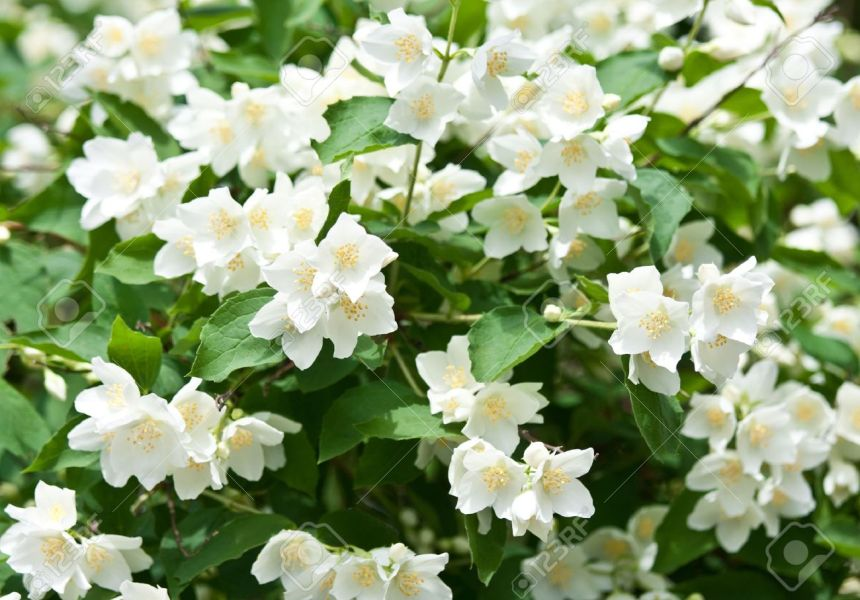 Jasmine Flowers   Background  Beautiful Jasmin Flowers In Bloom     Jasmine flowers   background  beautiful jasmin flowers in bloom Stock Photo    14475812