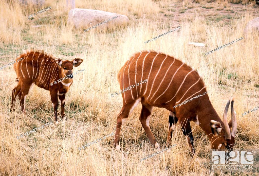 Bongo Antelope - Female wth young (Tragelaphus eurycerus ...