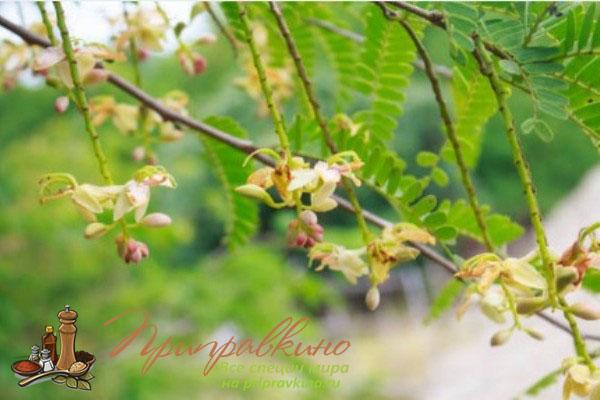 Фотосуретте Тамаринд ағашының гүлденуі