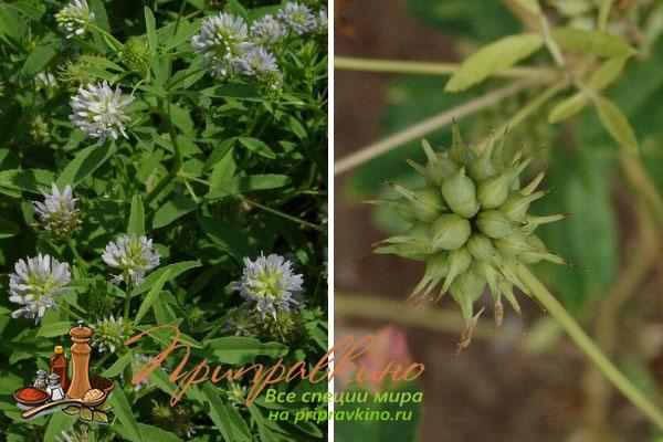 Stock Foto Fleurs et pods Spotteur bleu plant (Trigonella Caerulea).