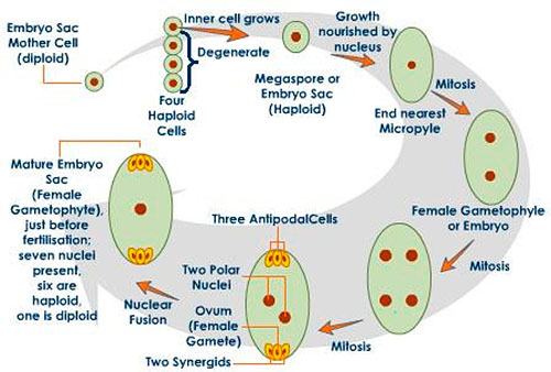 embryo protection in plants - 500×338