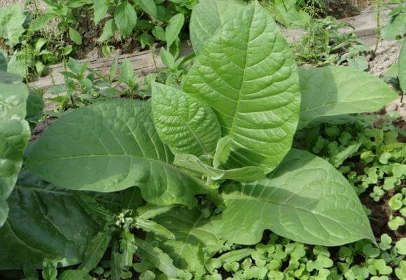 बगीचे पर तंबाकू