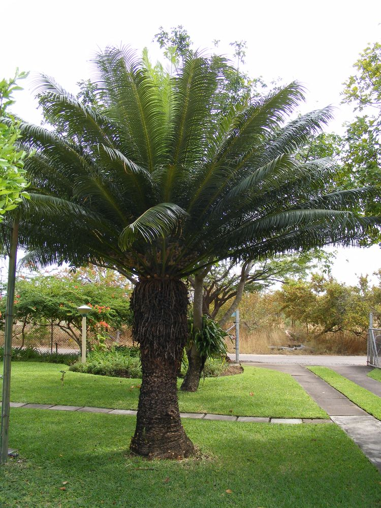 Cycas Circinalis L Species Images