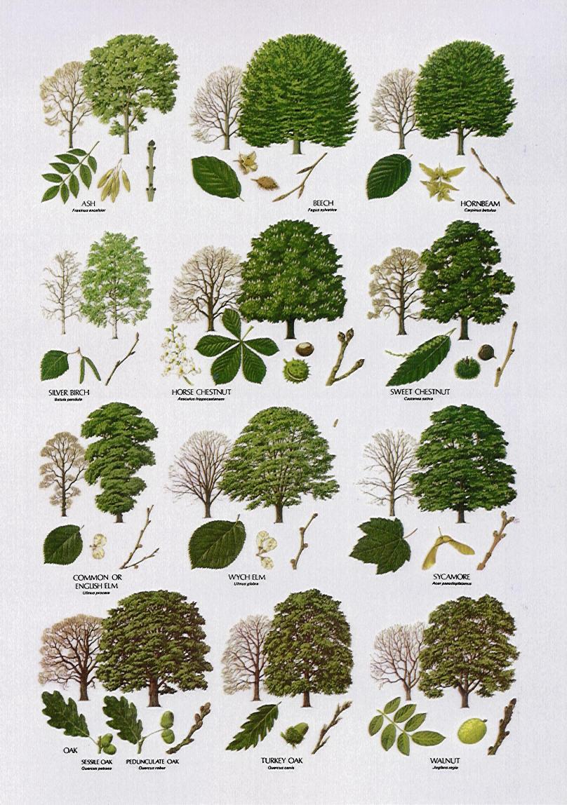 3 british tree leaf identification keys : Biological ...