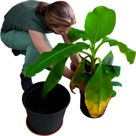 Replanting His Banana Trees PNG Image - PurePNG | Free ...