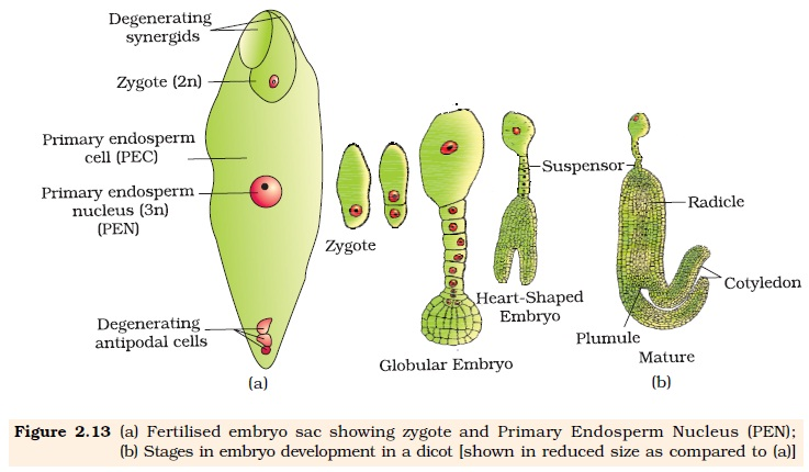 embryo protection in plants - 735×412
