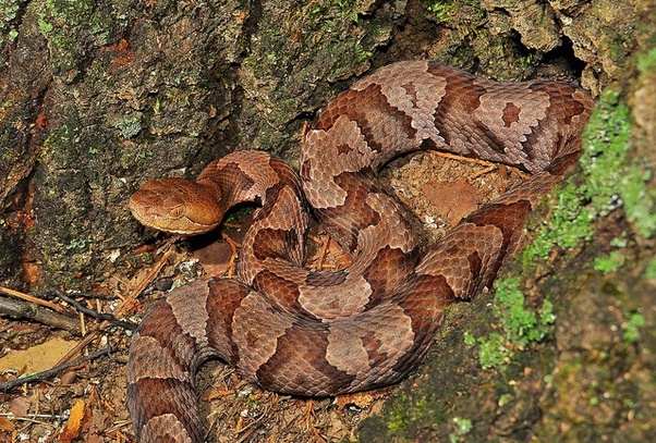 northern copperhead pictures - 602×407