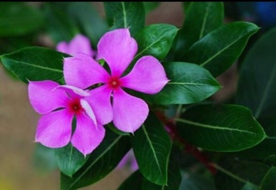What is the name of the common purple flower with 5 petals  India     What is the name of the common purple flower with 5 petals  India
