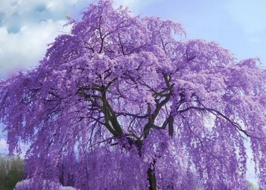 What are the most beautiful flower trees    Quora This genus is known for their beautiful lilac blooms and is used in many  parts of the world for landscaping  Unfortunately although they are quite  beautiful