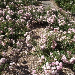 Ground Cover Rose Garden Gardening Flower And Vegetables