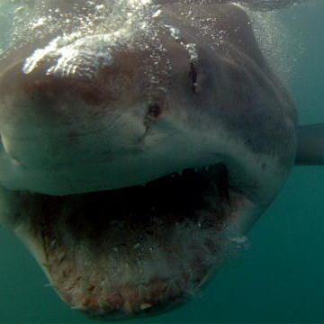 Top 5 Legendary Sharks: Submarine   Shark Week   Discovery