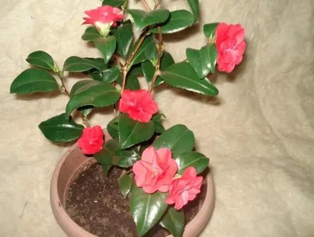 Цветок камелия – как правильно поливать и подкармливать растение, особенности пересадки и размножения
