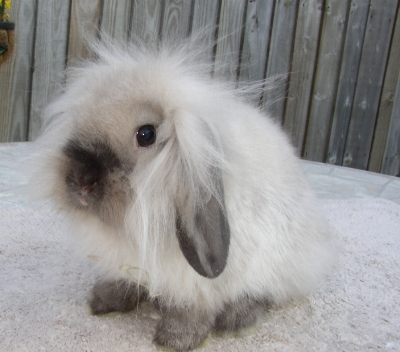 31 Mini Lop Bunnies Near Austin Texas Rabbits For Sale