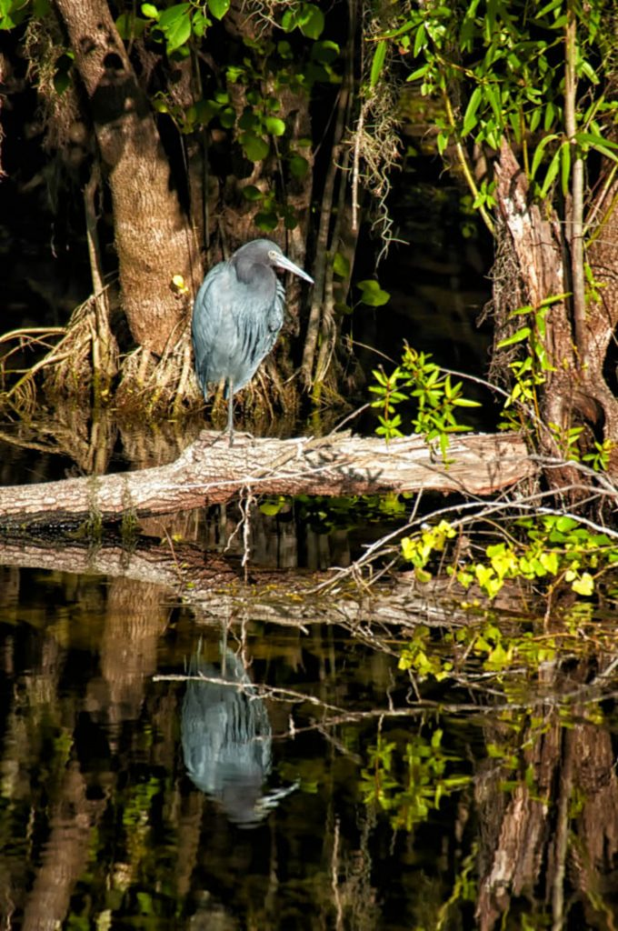 a water bird in the Everglades near Marco Island. It stands on a log on one leg. It is grey, with a long, pointed beak.